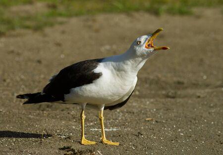 Lesser Black-backed gull Stock Photo - 15286324