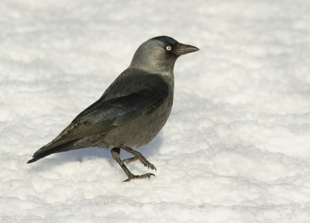Jackdaw in the snow photo