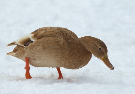 Mallard in the snow Stock Photo - 18133792