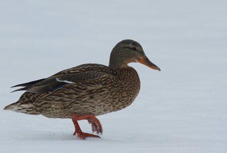 Mallard in the snow Stock Photo - 18374455