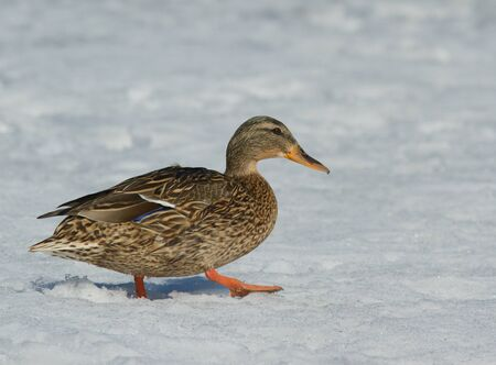 ice dam: Mallard in the snow