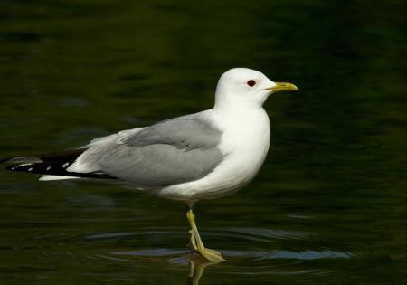 Common gull photo