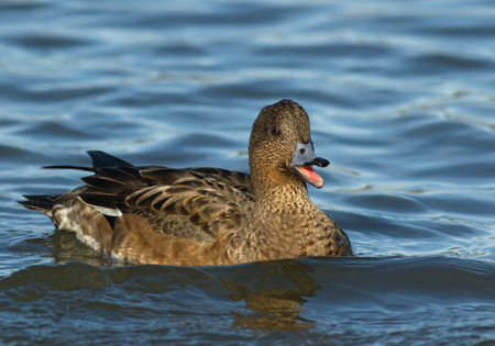 natation: Wigeon eurasiático