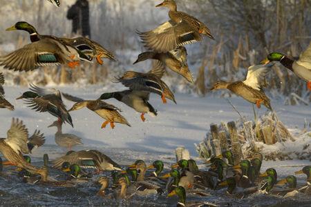 platyrhynchos: Duck in flight