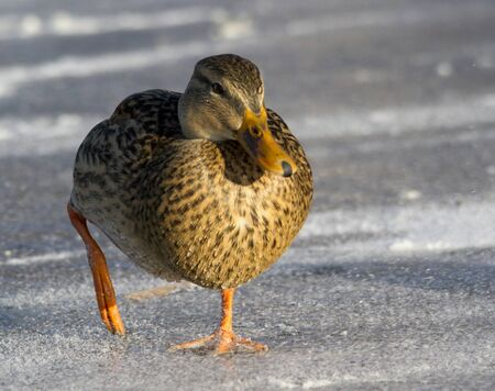 ice dam: Mallard on the ice Stock Photo