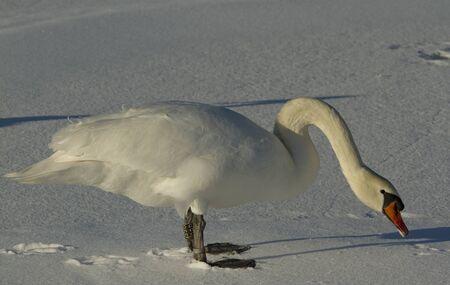 Muted swan Stock Photo