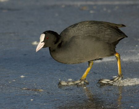 coot: Common Coot on the ice Stock Photo