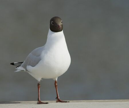 Chatter: Black-headed gull
