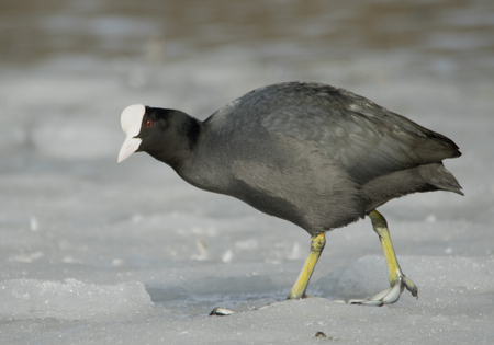 strut: Common Coot on the ice Stock Photo