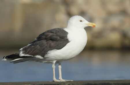 Great Black-backed gull Stock Photo