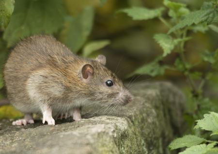 Brown rat Stok Fotoğraf