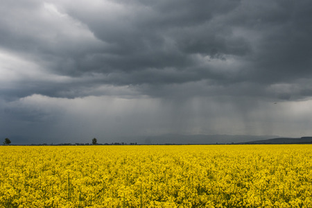 tempest: Rape field in spring before heavy storm