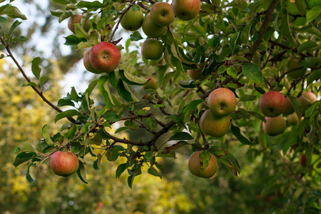 growing tree: Apple tree with beautiful apples