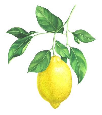 白い背景の水彩画レモン支店