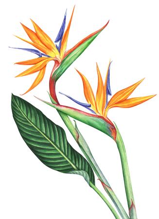 흰색 배경에 고립 된 조류의 낙원 꽃입니다. 손으로 그린 수채화 그림입니다.