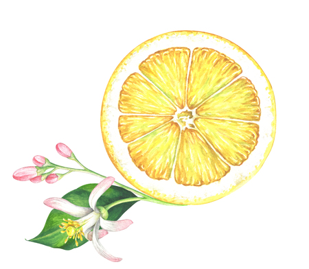 Lemon slice with flower on white background. Hand drawn watercolor illustration. Stock Photo