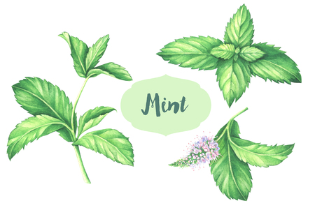 수채화 민트 수집. 흰색 배경에 고립 민트 꽃과 신선한 민트 잎의 손으로 그린 그림을 나뭇잎.