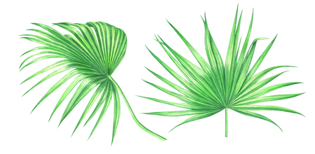 Fan palm leaves isolated on white background. Watercolor hand drawn illustration.
