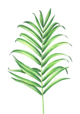 Tropical palm leaf isolated on white background. Watercolor hand drawn illustration.