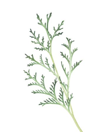 Thuja branch isolated on white background. Watercolor hand drawn illustration.