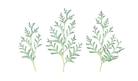Set of thuja branches isolated on white background. Watercolor hand drawn illustration.