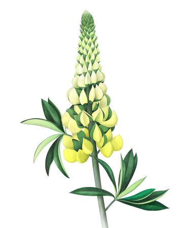 Lupine isolated on white background. Watercolor hand drawn illustration.