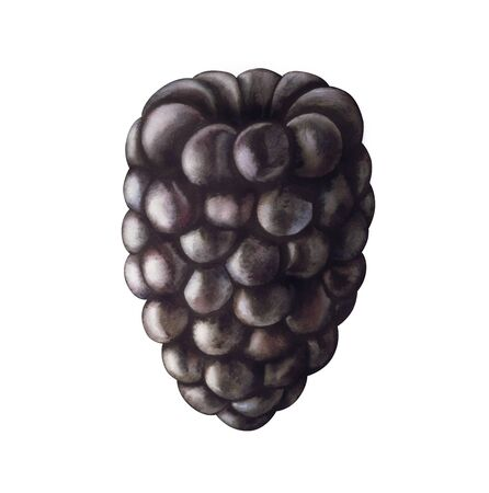 Blackberry isolated on white background. Hand drawn watercolor illustration.