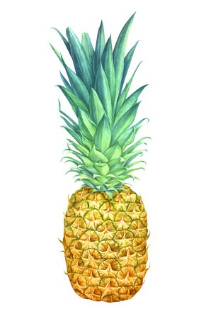 Pineapple isolated on white background. Hand drawn watercolor illustration.