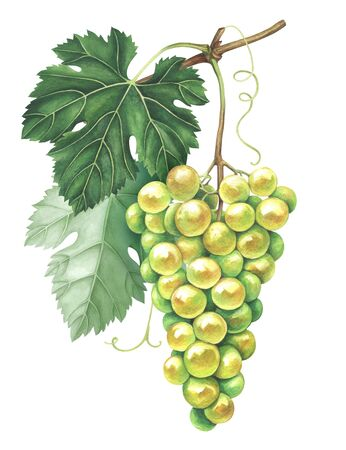 Bunch of green grapes isolated on white background. Hand drawn watercolor illustration. Stockfoto