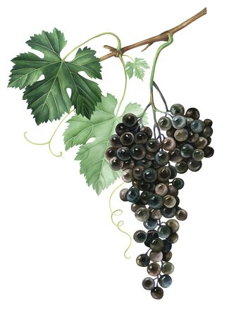 Bunch of black grapes isolated on white background. Hand drawn watercolor illustration. Stockfoto