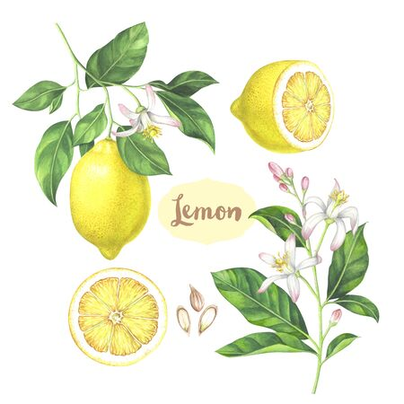 Watercolor lemon collection. Hand drawn illustration of the sliced fruits, flowers and branches isolated on the white background. 스톡 콘텐츠