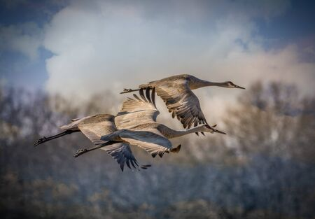 A trio of sandhill cranes in flight migrating in Tennessee on a sunny day in winter with trees and large clouds in the background closeup