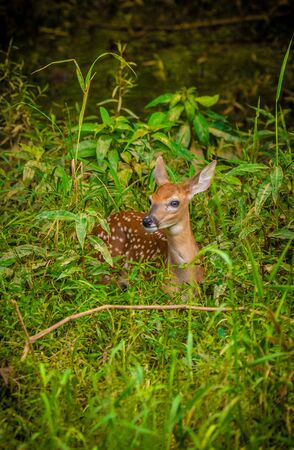 A small fawn sitting down in the woodlands resting after playing on a sunny warm afternoon in summer Standard-Bild