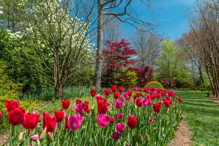 Bright vibrant red and dark pink tulips in a flower bed blooming with a hydrangea and other trees blossoming in the background on a sunny day in early spring Фото со стока
