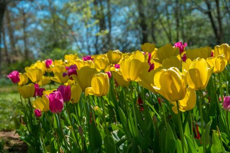Colorful and bright yellow and magenta tulips looking up from the green leafy stems with the blue skies and trees in the background on a sunny day in early spring Zdjęcie Seryjne
