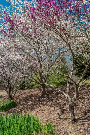 Bright and vibrant white and purple flowering trees on a hill blossoming together with emerging irises on the bottom of the hill in early spring