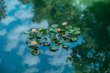 A grouping of beautiful pink waterlilies opening up on a calm pond with reflections on the sky and trees on a bright sunny day in summer