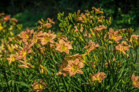 A large cluster of peach or apricot color daylilies bunch together in a flowerbed blooming on a hot sunny summer day Stok Fotoğraf