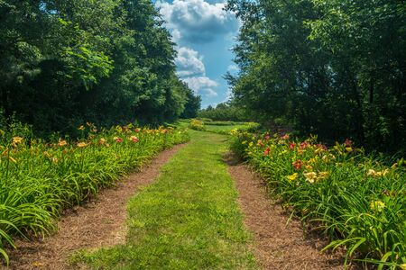Endless rows of different colors and species of blooming daylilies bordering the trees in summertime on a bright sunny day Stok Fotoğraf