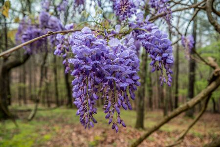 Cluster of vibrant purple wisteria flowers hanging from the vine newly opened blossoms with water droplets on the petals after the rain in early springtime Фото со стока