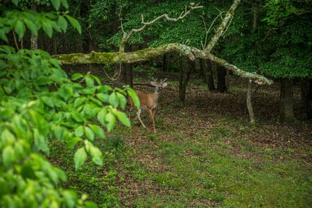A young buck whitetail deer with small velvety antlers approaching in the clearing of the woodlands being alert and curious on a sunny day in late spring