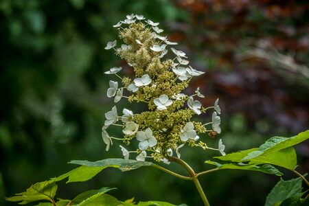 White oakleaf hydrangea blooming with little clusters of flowers on a flower head with foliage closeup in the woodlands in summer Banque d'images - 149592366