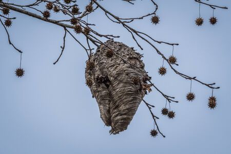 A giant beehive hanging from a tree branch way up high with gum tree seed balls hanging on the limbs surrounding the hive