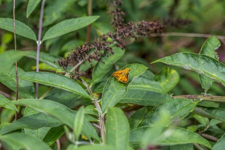Small vibrant orange moth resting on a leaf of a butterfly plant closeup on a sunny day in summertime