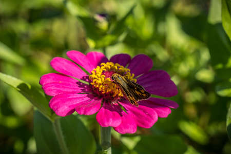 Small moth sitting on a yellow pollen center of a vibrant magenta color zinnia in a field on a bright sunny day in summertime