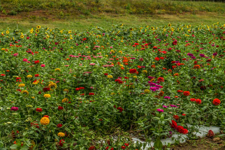A farm field full of blooming sunflowers and vibrant colorful zinnias together for cutting flowers in late summer