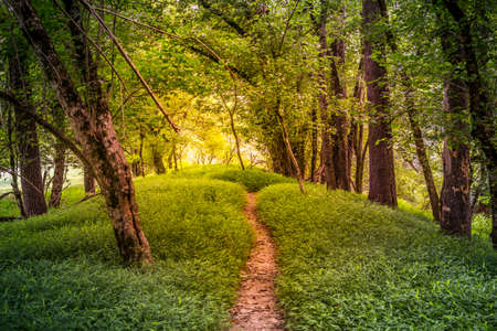 Hiking down a narrow trail in the early morning with the sunrise ablaze in the woodlands highlighting the trees and the grasses giving the forest a glowing appearance on a summer day