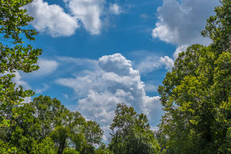 Looking up through the trees in the forest at the vibrant blue sky at the big white fluffy clouds on a sunny day in summertime Stockfoto