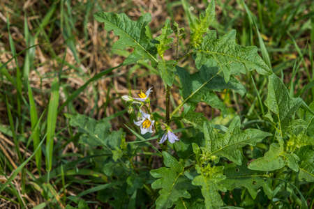 Horse nettle plant with white star shaped flowers and thorns on the stems an invasive species growing in a field on a sunny day in summertime