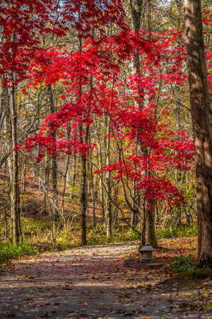A cement garden lantern on a rock along the trail in the woodlands with a bright red Japanese maple tree in the foreground on a sunny afternoon in autumn Stock fotó
